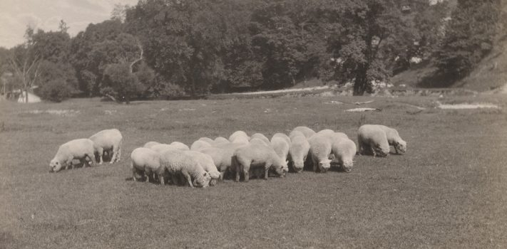 Combating Sheep Flock Parasites – Part 2, by Mike V.