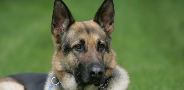 Finding The Right German Shepherd, by John Adrain