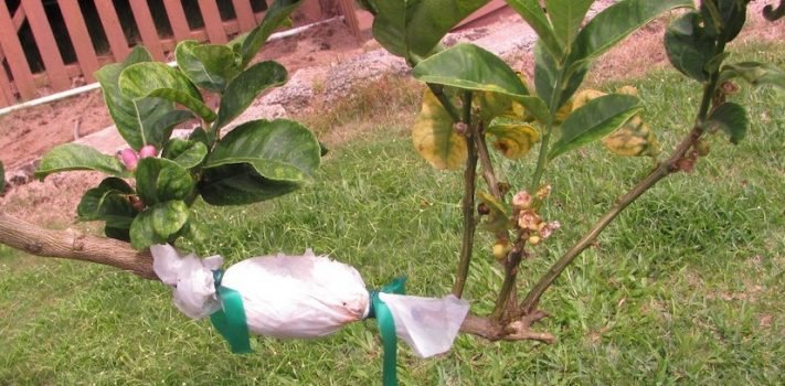 Tree Propagation Through Air Layering – Part 1, by T.S., PhD